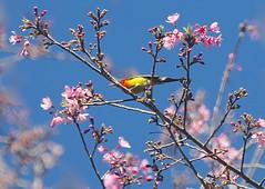 Mrs. Goulds Sunbird (Aethopyga gouldiae), Laifeng Park, Tengchong, Yunnan, China 11/19/15 (abcdefgewing) Tags: nectariniidae
