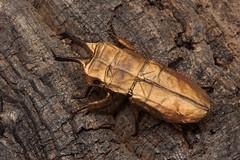 Allotopus rosenbergi (redesign) - Shsaku Uto (P. Colman) Tags: paper origami beetle stagbeetle