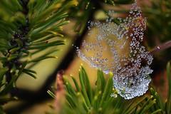 raindrops spiderweb (NikonTreeMonkey) Tags: wood green nature water rain spider nikon wasser web spiderweb marco spinne grn nikkor waterdrops regen netz spinnennetz auqa thomasleizinger