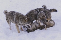Wolves Playing (craigmdennis) Tags: snow cold travelling animals norway wolf polarpark