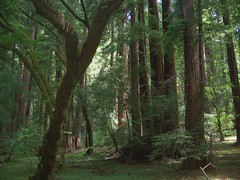 USA (San Francisco, CA) Muir Woods-Giant sequoia trees, some are 200-275 ft tall and 30-36 ft in diameter. (ustung) Tags: sanfrancisco tree forest landscape us woods kodak outdoor muir sequoia gianttrees