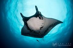 Elegant Giant (Lea's UW Photography) Tags: mexico underwater wideangle fisheye manta socorro boiler mantaray subal canon5dmk3 lealee canon815mm