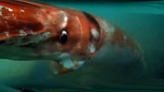 Seaspace squiddity (lewshima) Tags: giantsquid toyamabay calmargant