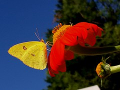 October Color Symphony (rstickney37) Tags: phoebis phoebissennae sulphurbutterfly sulphur cloudlesssulphur northcarolinabutterflies tithonia mexicansunflower museumoflifescience museumoflifeandscience