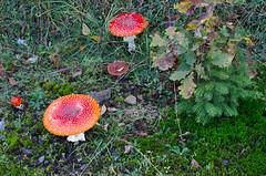 Wie im Mrchen / Like a fairytale (Quaaltagh) Tags: pilz pilze fliegenpilz natur waldboden moos mrchenhaft grn rot gras tanne eiche outdoor