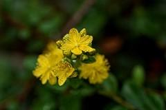 *** (pszcz9) Tags: polska poland przyroda nature natura kwiat flower zblienie closeup bokeh beautifulearth a77 sony