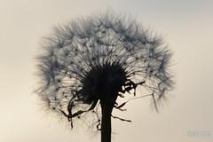 10 (mercedes1790) Tags: pusteblume dandelion lwenzahn nature natur blume flower austria