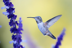 Allen's on Yellow (Patricia Ware) Tags: allenshummingbird birdsinflight california canon ef400mmf56lusm mexicanbushsage palosverdespeninsula salvialeucantha selasphorussasin httppwarezenfoliocom 2016patriciawareallrightsreserved rollinghillsestates unitedstates us specanimal