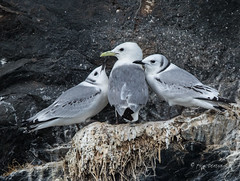 Feed Me! (Rick Derevan) Tags: alaska kodiak bird kittiwake blackleggedkittiwake rissatridactyla