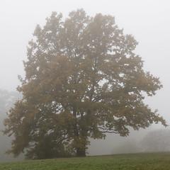 149- Auch die Eiche sprt den Herbst (heriholz) Tags: eiche nebel herbst wiese wald