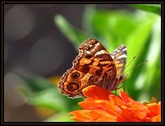 IMG_1753 High in the Saddle 9-15-16 (arkansas traveler) Tags: butterfly paintedlady paintedladybutterfly flowers zinnia orange zoom telephoto nature naturewatcher bokeh bokehlicious natureartphotography