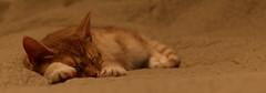 Salvia (andymiccone) Tags: cat katze katt kissa feline tabby chat gato red orange animal beautiful cute pet domestic salvia kitten