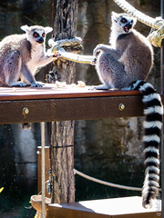 """Oh god, the drugs are kicking in!"" (Pursuedbybear) Tags: tarongazoo sydney sydney2016 ringtailedlemur lemur"