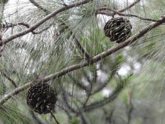 DSCN0336 (apacheizabel) Tags: lago pássaros árvores céu pinhas tronco espelho dágua queroquero rolinhas banco no bosque família de galinhas passeio parque centro aeroespacial da aeronáutica cta são josé dos campos sp