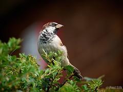 House Sparrow (paulsilk photos) Tags: bird housesparrow outdoor wildlife female westbromwich westmidlands unitedkingdom