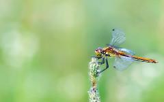 (Verlgof) Tags: nature macrodreams dragonfly insect macro bokeh fujifilm