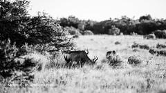DSC02402.jpg (ChrMous) Tags: tamronsp150600mmf563 hartenbeest southafrica zoogdieren zuidafrika sonyslta99 animals 2016 alcelaphusbuselaphus redhartebeest