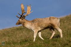 Dyrham Park (NT) 20161103-0913 (Rob Swain Photography) Tags: deer stag dyrham england unitedkingdom gb dyrhampark ntsouthwest ntdryhampark buck