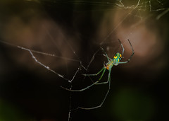 Alone Again Naturally (Kathy Macpherson Baca) Tags: explore animal animals spider orb web weave arachnid green creature florida bokeh macro spin earth nature wild forest world planet