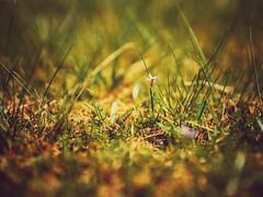 Springtime Flora (Jon-Fū, the写真machine) Tags: jonfu 2016 olympus omd em5markii em5ii em5mkii em5mk2 em5mark2 オリンパス mirrorless mirrorlesscamera microfourthirds micro43 m43 mft μft マイクロフォーサーズ ミラーレスカメラ ミラーレス一眼カメラ ミラーレス機 ミラーレス一眼 outdoors 野外 nature 自然 plants 植物 flower flowers 花 華 plant flora snapseed japan 日本 nihon nippon ジャパン ジパング japón जापान japão xapón asia アジア asian fareast orient oriental aichi 愛知 愛知県 chubu chuubu 中部 中部地方 nagoya 名古屋
