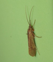 Caddisfly (Bug Eric) Tags: animals wildlife nature outdoors insects bugs caddisflies trichoptera coloradosprings colorado usa caddisfly northamerica september12016