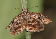 Gorgythion begga (Birdernaturalist) Tags: butterfly cerroblanco ecuador erynnini guayas hesperiidae pyrginae richhoyer