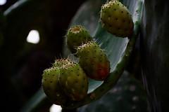 (Giramund) Tags: sicily italy cefal cactus plant