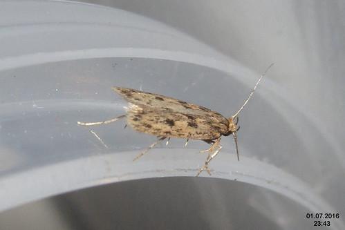 Brown house-moth 3 (FG)