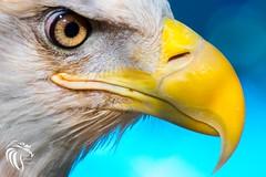 Bald Eagle at The Raptor Trust NJ - 2 (RGL_Photography) Tags: americanbaldeagle baldeagle birds birdsofprey eagle gardenstate godblessamerica haliaeetusleucocephalus mothernature nikonafs200500mmf56eedvr nikond500 ornithology raptortrust raptors wildlife wildlifephotography