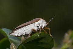 _DSC3087_LOGO (Ray 'Wolverine' Li) Tags: stinkbug stinkbugs bug bugs asia nature hongkong insect macro insects wildlife outdoor nikon iamnikon hemiptera litchstinkbug tessaratomapapillosa tessaratomidae
