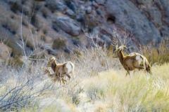 047-VOF160131_46391 (LDELD) Tags: nevada desert rugged dry harsh wild valleyoffire bighornsheep animal wildlife rocky