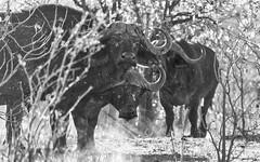 No Entry (philnewton928) Tags: capebuffalo capebuffaloherd synceruscaffercaffer mammal animal animalplanet wildlife wild nature natural pundamaria kruger krugernationalpark africa southafrica outdoor outdoors safari nikon nikond7200 d7200 blackandwhite blackwhite bw monochrome