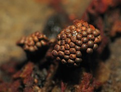 Slime Mold (Sea Moon) Tags: myxomycete sporangia fruitingbodies brown cups waspnest powdery spores