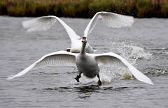 Cleared for landing! (pstone646) Tags: nature birds animals wildlife flight flying fauna water lake kent stodmarsh swans
