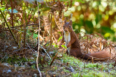 C'est ma noisette ! (marieclairecroize) Tags: animal cureuil nature squirrel fort forest