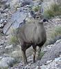 Hippocamelus bisulcus (Mono Andes) Tags: chile patagonia huemul hippocamelusbisulcus animal ciervo regióndeaysén reservanacionalcerrocastillo