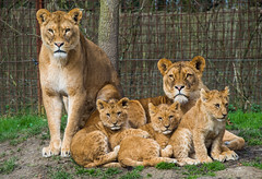 Lions in Kerkrade Gaiazoo (Gilbert Kuhnert) Tags: eurode fauna gaiapark gaiazoo holland hollandia kerkrade kirchrath kirchroa leeuw leeuwen lion lions lwe lwen nederland niederlande thenetherlands zookerkrade limburg nl zoo