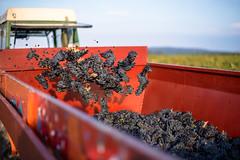 Le temps des vendanges #1 (oxybis_photos) Tags: vignes raisin viticulture ctesdurhne vaucluse tracteur rouge