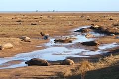 Seals, Lincolnshire Wildlife Trusts Donna Nook National Nature Reserve (robin denton) Tags: seals seal pup greyseal animal nature wildlife lwt lincolnshirewildlifetrust wildlifetrust halichoerusgrypus donnanook