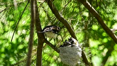 The baby Willie Wagtails are growing up so fast (Luke6876) Tags: williewagtail fantail bird animal wildlife australianwildlife family nest