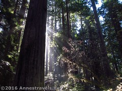 Sunlight through the Redwoods6 (Anne's Travels) Tags: redwoodnationalpark redwoods ladybirdjohnsongrove california