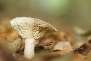 Hayes wood fungus