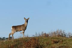 Roe deer (yvonnepay615) Tags: panasonic lumix gh4 nature roedeer norfolkwildlifetrust nwt roydoncommon norfolk eastanglia uk