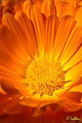 OrangeBloom1.jpg (raysul) Tags: flower macro flowerphotography floralart closeup depthoffield decorative beautyinmacro