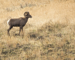 A buck Big Horn Sheep in the Yakima River Canyon today. (metadata man) Tags: a buck big horn sheep yakima river canyon today bp xiv burning pram