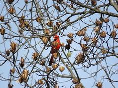 Northern Cardinal with Tulip Tree Seeds (jdf_92) Tags: yellowwoodstateforest indiana bird cardinal northerncardinal cardinaliscardinalis red
