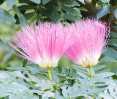 Calliandra haematocephla__Powder Puff