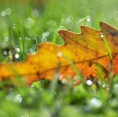 bokehlicious autumn (robra shotography []O]) Tags: droplet autumn leaf dof dew bokeh rugiada square foglia caducità transience sooc bokehlicious fall