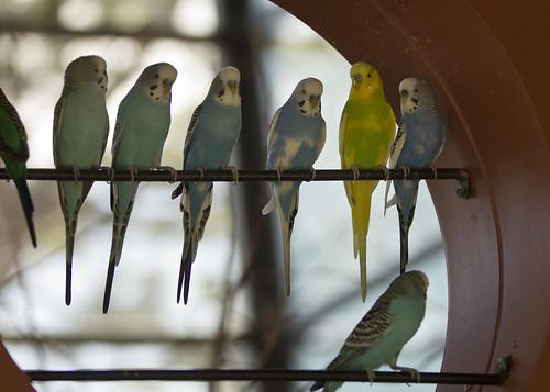 parakeets on a bar