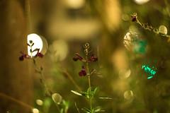 7 UP (Lens a Lot) Tags: paris | 2016 yashica yashinondx 50 mm f 6 blades iris m42 bokeh depth field color rose flower plant light auto yashinon 55cm f18 1966